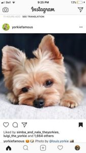 Looking for a female yorkie puppy.