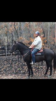BLACK STOCK HORSE GELDING