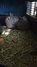 Pure breed Netherland dwarf rabbits Springvale Greater Dandenong Preview