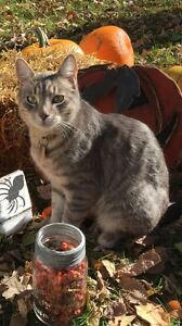 Grey striped male cat missing from river heights
