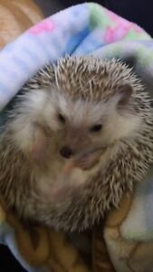 Hedgehog to be rehomed
