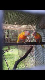 Fallow Rainbow Lorikeet Breeding Pair Mundijong Serpentine Area Preview