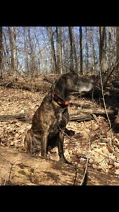 Missing 9 year old female Plott Hound.