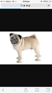 WANTED- older pug Melton Melton Area Preview