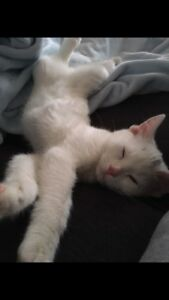 Lost ALL WHITE KITTEN (CAT)