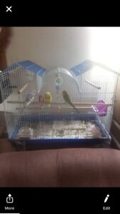 3 budgies 2 female 1 male comes with lots of stuff.