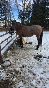Registered mare