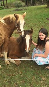 Clyde x gypsy cob x qh filly East Warburton Yarra Ranges Preview
