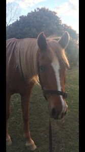 Quiet, sweet natured allrounder gelding Forest Lake Brisbane South West Preview