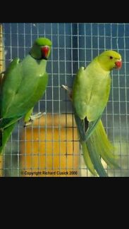 Breeding pair of green lace wing ring necks