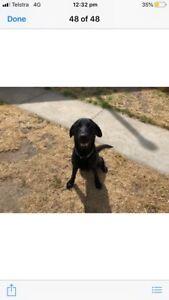 Labrador puppies..