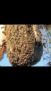 Bee swarm removal free Mandurah Mandurah Area Preview