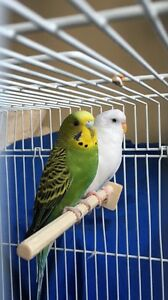 2 Budgies + cage