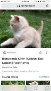 beige/blonde kitten wanted asap!!!