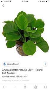 Anubias round leaf