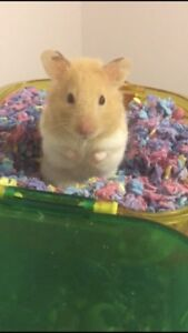 Looking for a female Syria hamster
