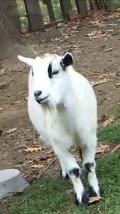 Sweet Nigerian Dwarf goat doe $150