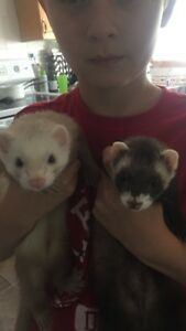 Two young ferrets with large habitat