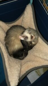 Iso ferret and cage