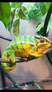 Nosy Mitsio panther chameleon babies