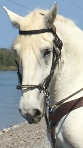 GRAND GREY RIDING AND DRIVING PERCHERON GELDING