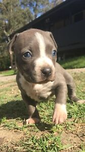 American staffy pups Londonderry Penrith Area Preview