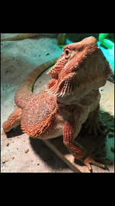 Leatherback central bearded dragons Warwick Southern Downs Preview