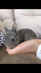 Baby Netherland dwarf/ cross mini lop