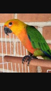 Looking for jenday hen conure to buy Acacia Ridge Brisbane South West Preview