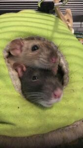 Two Female Rats Needing Rehoming