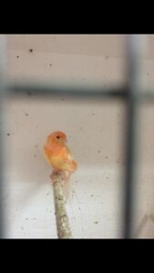 Red factor canary's for sale!!
