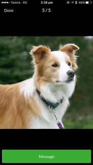 Wanted: Wanted Border Collie