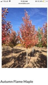 **Fall sale** Trees , Tree Planting , Landscaping, etc