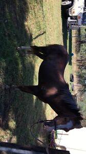 Companion pony Mudgee Mudgee Area Preview