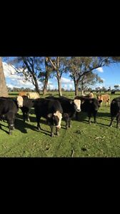 Calves for sale North Wangaratta Wangaratta Area Preview