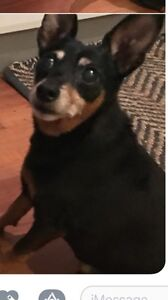 Found male Black Fox terrier cross dog Hornsby Hornsby Area Preview