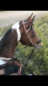 Athletic Broke mountains/trail APHA Mare