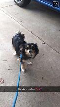 Chihuahua looking for loving home. Ngunnawal Gungahlin Area Preview