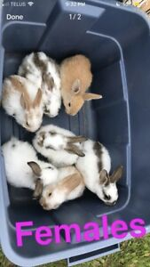 Flemish/French Lop Bunnies!!!!!!