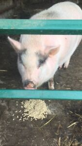 Female potbelly pig- free