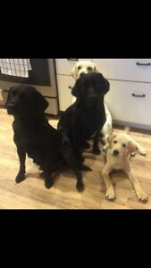 English black lab pups, only 1 female still available