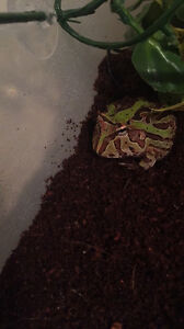 Pacman frog for sale!! 80$