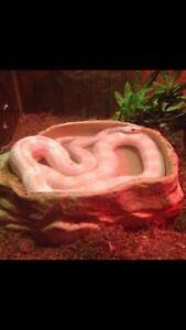 4.5 ft Albino corn snake