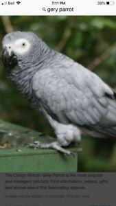 Looking for a African grey parrot
