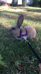 Purebred Rex rabbits Katoomba Blue Mountains Preview
