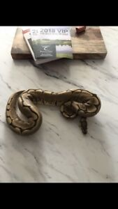 Ball Pythons - Need Gone!