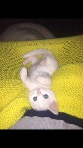 Kitten Free to good home!