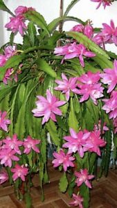 Christmas Cactus Potted Pink Flower Plants Merrimac Gold Coast City Preview