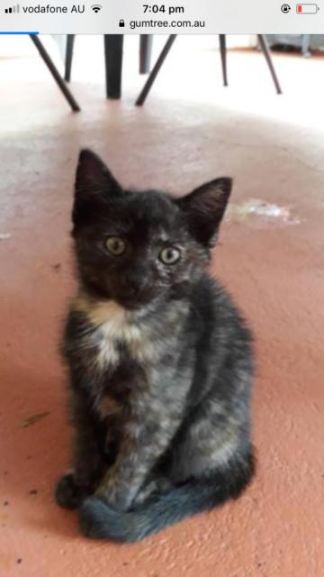 Free Kitten   Cats & Kittens   Gumtree Australia Inner Sydney - Sydney