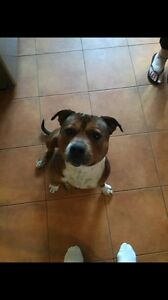 MISSING RED STAFFY   ***reward offered!!*** Ulverstone Central Coast Preview
